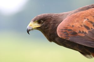 Harris Hawk head and shoulders